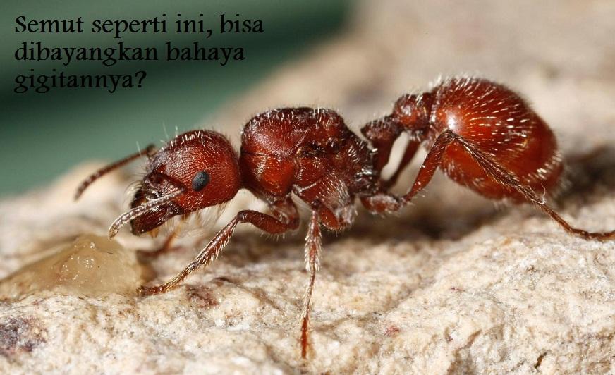 gigitan semut